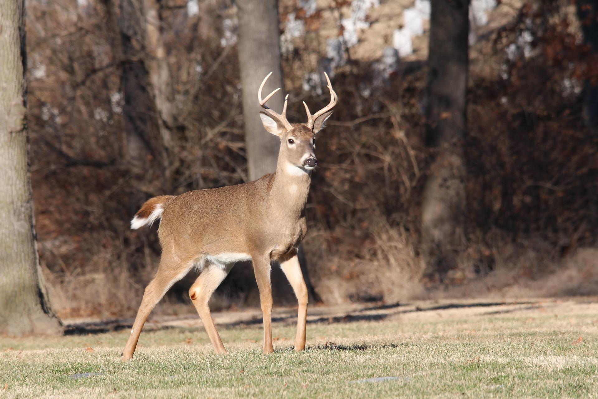 An image of a deer.